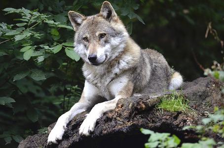 2018 09 10 conservation wolf 1336229 pixabay